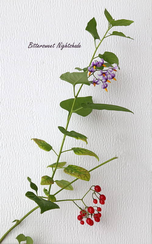 Bittersweet Nightshade Art Print featuring the photograph Bittersweet Nightshade by Angie Vogel
