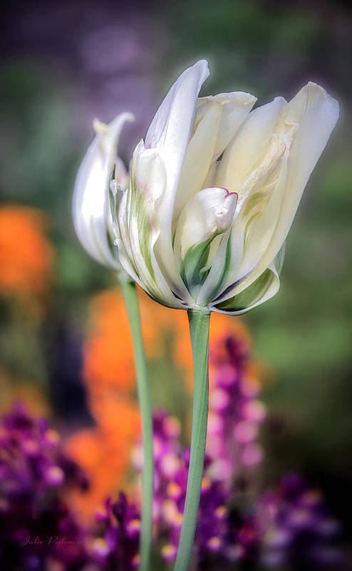 White Tulip Art Print featuring the photograph White Tulip Splash Of Color by Julie Palencia