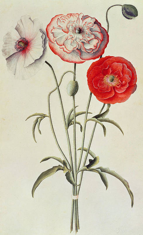 Print; Pattern; Leaves; Leaf; Botanical; Nature; Plant; Branch; Branches; Plants; Flowers Art Print featuring the painting Poppies Corn by Georg Dionysius Ehret