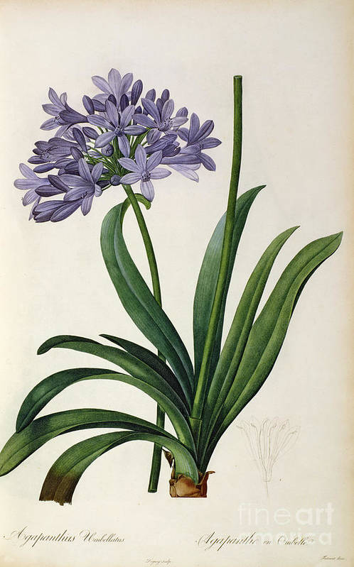 Agapanthus Print featuring the painting Agapanthus Umbrellatus by Pierre Redoute