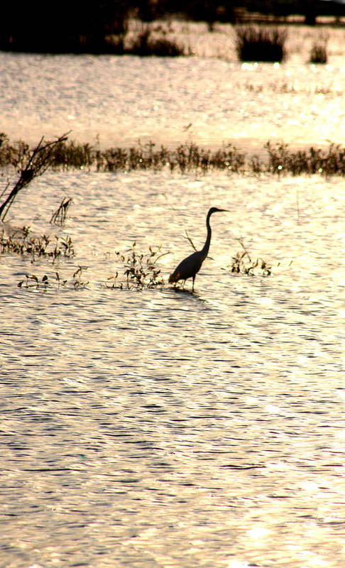 Egret Art Print featuring the photograph Egret In Sunset Water by Diane Merkle