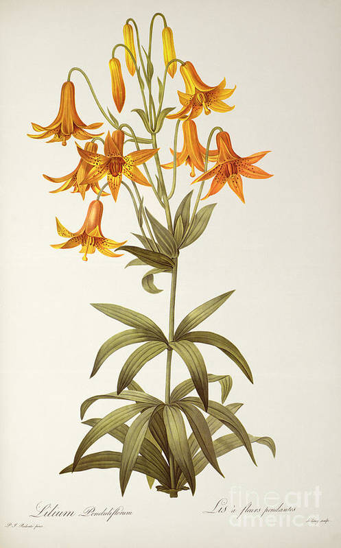 Lilium Penduliflorum Art Print featuring the painting Lilium Penduliflorum by Pierre Joseph Redoute