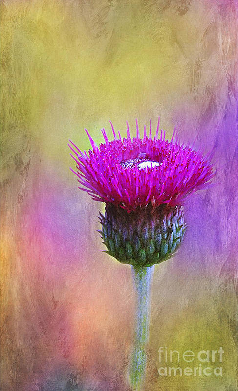 Scottish Art Print featuring the photograph Scottish Thistle by Judi Bagwell