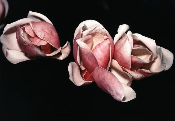 Magnolias Art Print featuring the photograph Magnolias At Night by Joseph Cosby