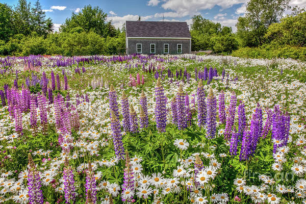 Lupine Lawn by Susan Cole Kelly
