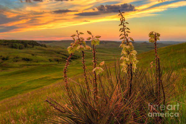 Yucca Flowers at Sunset by Kendra Perry-Koski