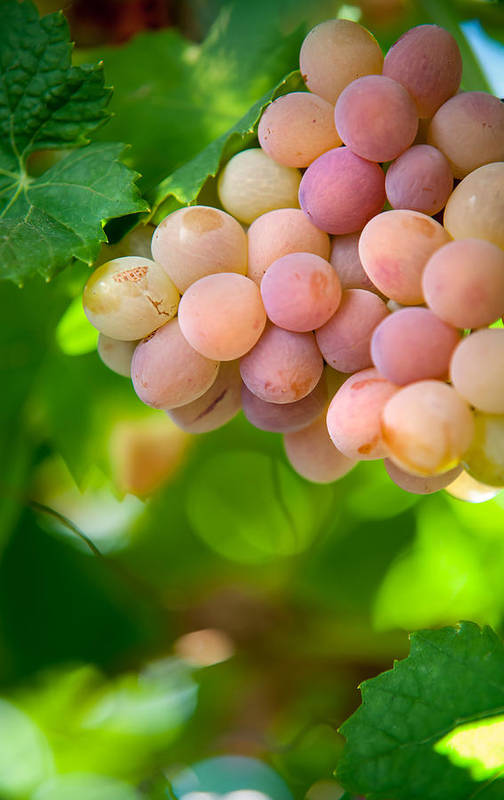 Grape Art Print featuring the photograph Harvest Time. Sunny Grapes Viii by Jenny Rainbow