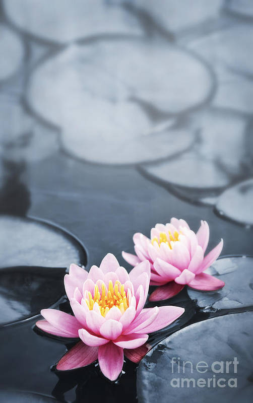Blossoms Art Print featuring the photograph Lotus Blossoms by Elena Elisseeva
