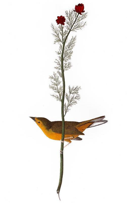 1827 Print featuring the photograph Audubon: Warbler, (1827) by Granger