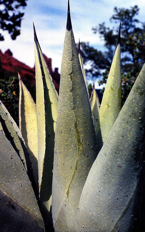 Agave Art Print featuring the photograph Agave by Heather S Huston