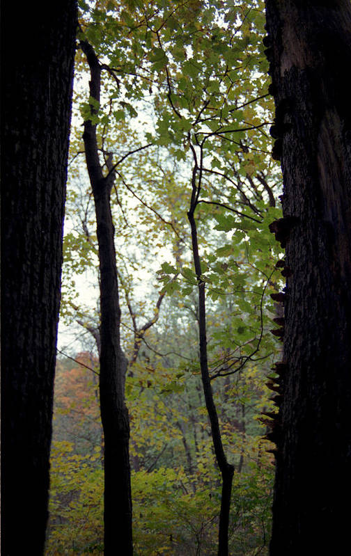 Tree Art Print featuring the photograph Vertical Limits by Randy Oberg