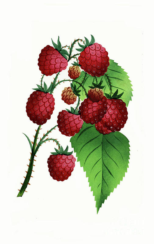 Raspberries Art Print featuring the digital art Hepstine Raspberries Hanging From A Branch by Nikki Vig