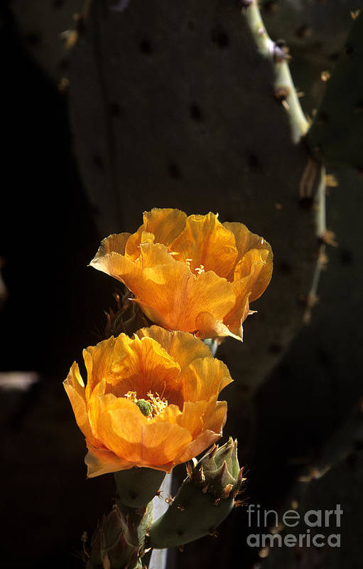 Cactus Art Print featuring the photograph Apricot Blossoms by Kathy McClure