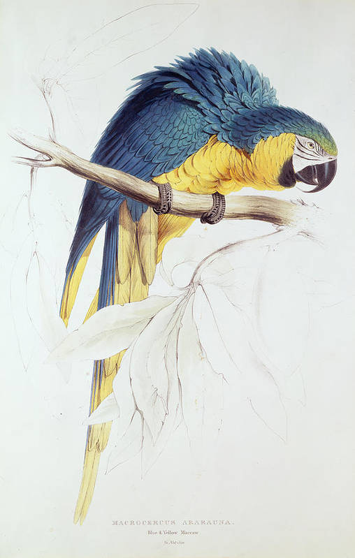 Parrot Art Print featuring the painting Blue And Yellow Macaw by Edward Lear
