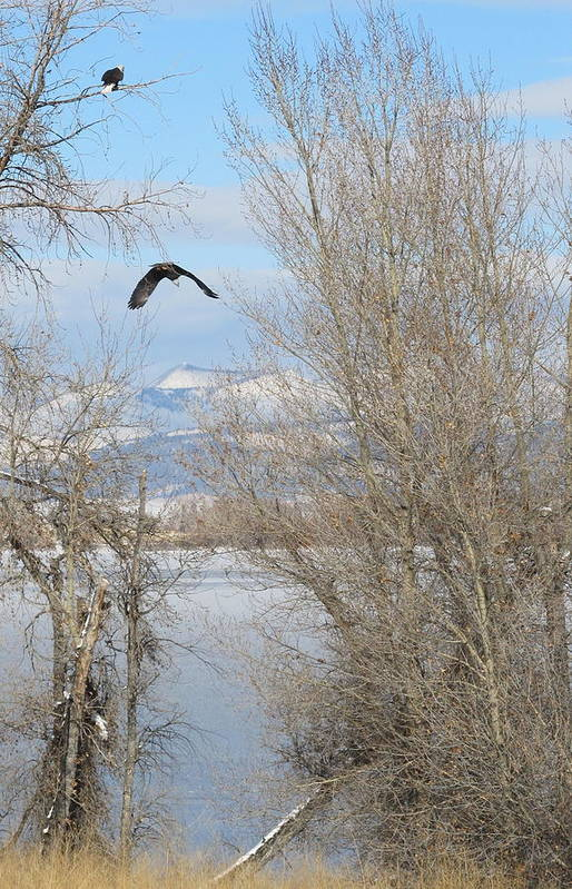 Eagle Art Print featuring the photograph Eagle Takes Flight by Jesse Woodward