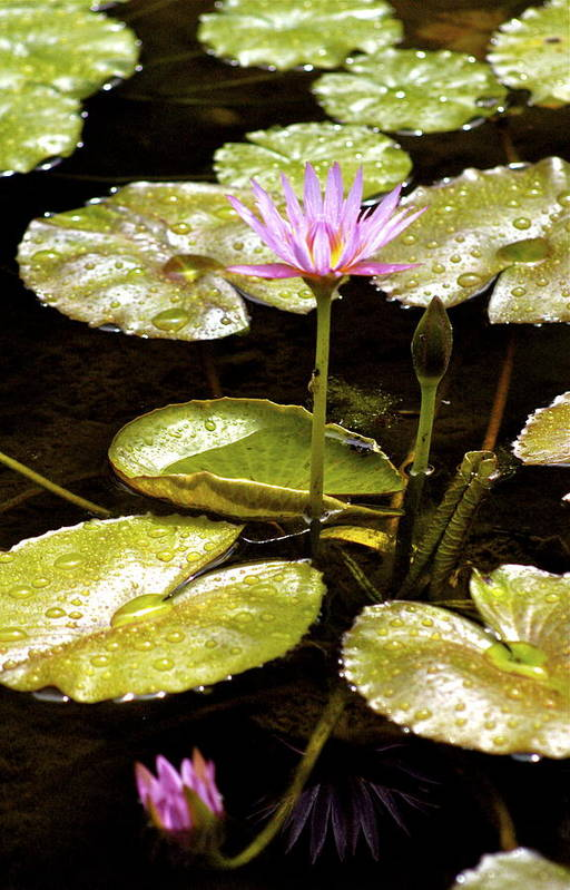 Hawaii Art Print featuring the photograph A Waterlily Reflection by Lehua Pekelo-Stearns