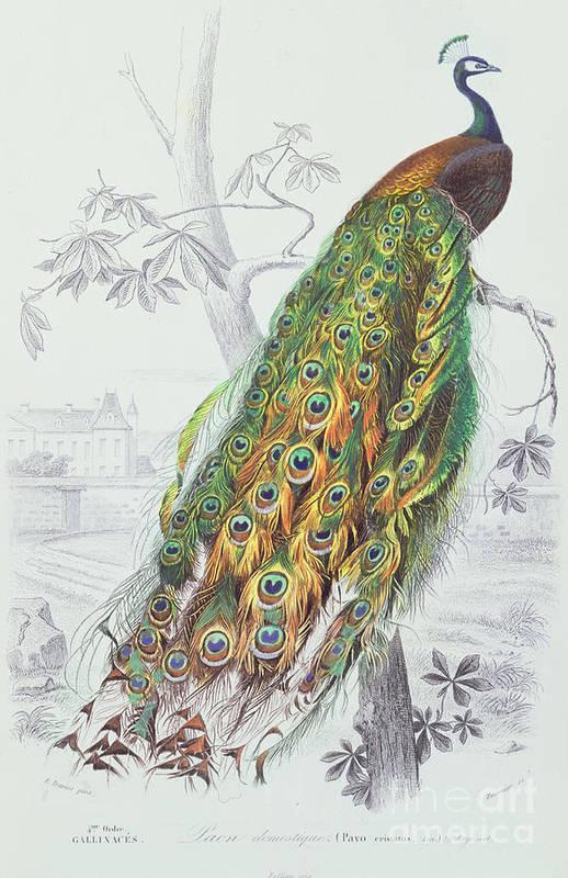 Peacock Paintings Fine Art America