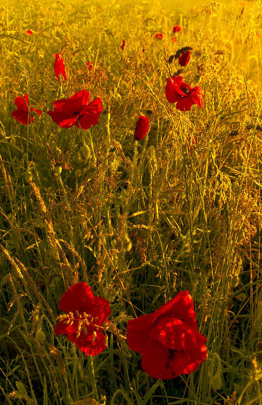 Flowres Art Print featuring the photograph Poppy Field by Svetlana Sewell