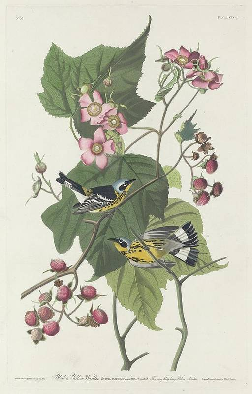Audubon Art Print featuring the drawing Black And Yellow Warbler by Dreyer Wildlife Print Collections