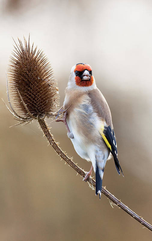 Goldfinch Art Print featuring the photograph Goldfinch On Teasle by Bob Kemp