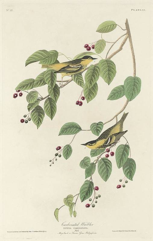 Audubon Art Print featuring the drawing Carbonated Warbling by Dreyer Wildlife Print Collections