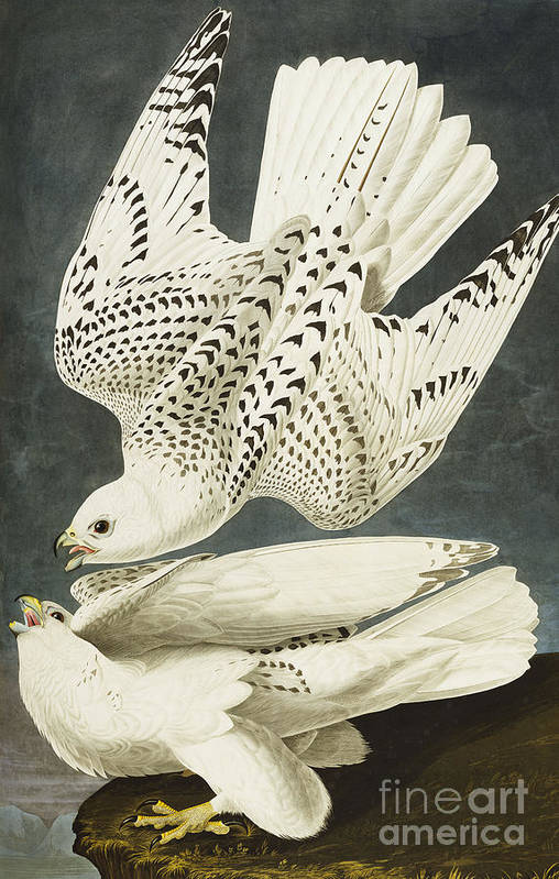 Iceland Or Jer Falcon. Gyrfalcon (falco Rustiocolis) From 'the Birds Of America' (aquatint & Engraving With Hand-colouring) By John James Audubon (1785-1851) Art Print featuring the drawing Iceland Or Jer Falcon by John James Audubon