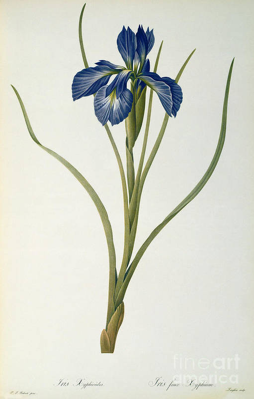 Iris Art Print featuring the painting Iris Xyphioides by Pierre Joseph Redoute