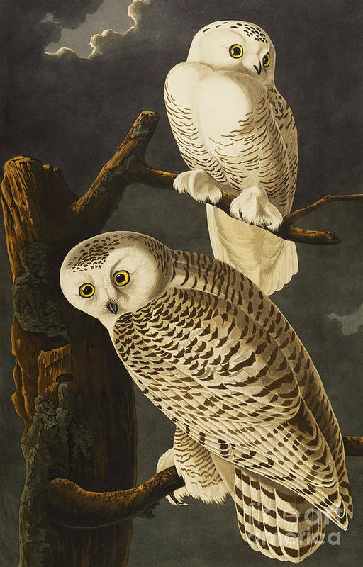 Snowy Owl (nyctea Scandiaca) Plate Cxxi From 'the Birds Of America' (aquatint & Engraving With Hand-colouring) By John James Audubon (1785-1851) Art Print featuring the drawing Snowy Owl by John James Audubon