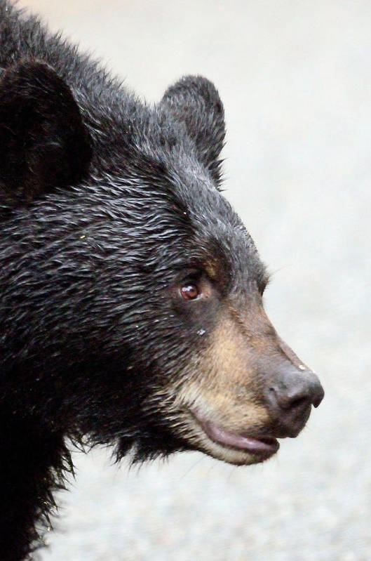 Black Bear Art Print featuring the photograph Black Bear by Brian Wartchow