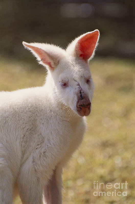 Nature Art Print featuring the photograph Albino Wallaby by Art Wolfe