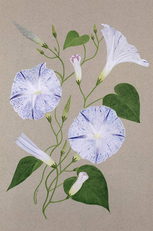 Botanical; Flower; Still Life; Liseron Print featuring the painting Convolvulus Cneorum by Frances Buckland