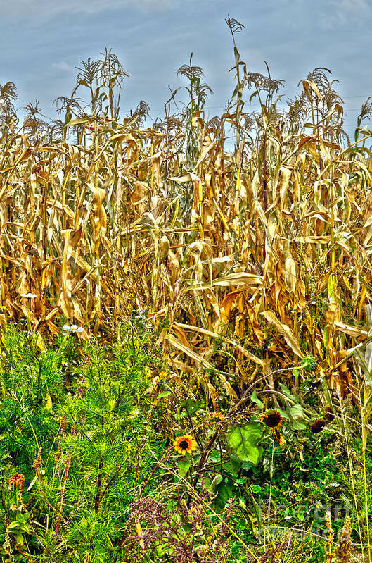 Corn Art Print featuring the photograph Cornfield by Baywest Imaging