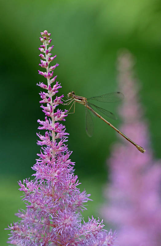 Damselfly Print featuring the photograph Damselfly by Juergen Roth