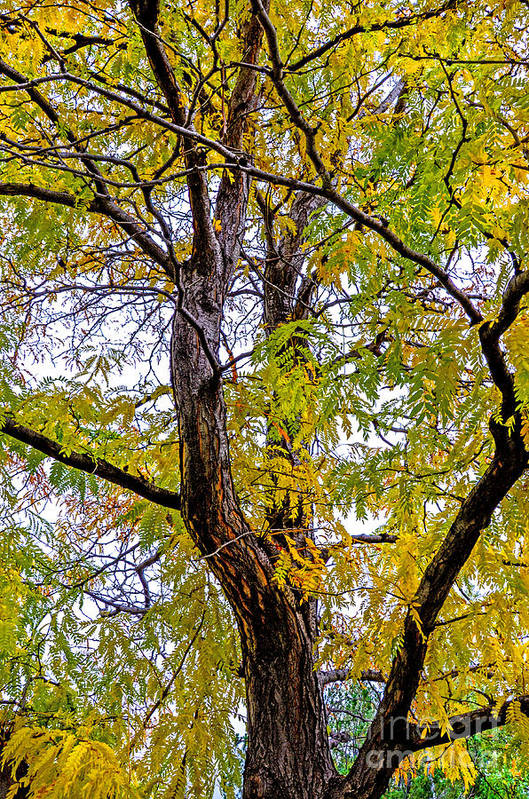 Fall Print featuring the photograph Fall Tree by Baywest Imaging