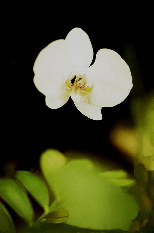 Orchid Art Print featuring the photograph Floating Orchid by Alfredo Martinez