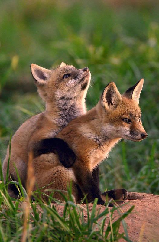Fox Art Print featuring the photograph Fox Cub Buddies by William Jobes