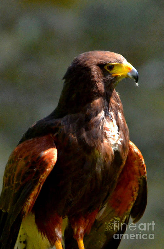 Harris Hawk Art Print featuring the digital art Harris Hawk In Thought by Pravine Chester