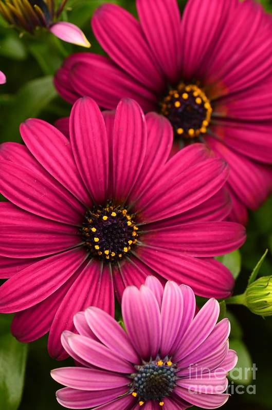 Purple Osteospermum Art Print By Debbie Green