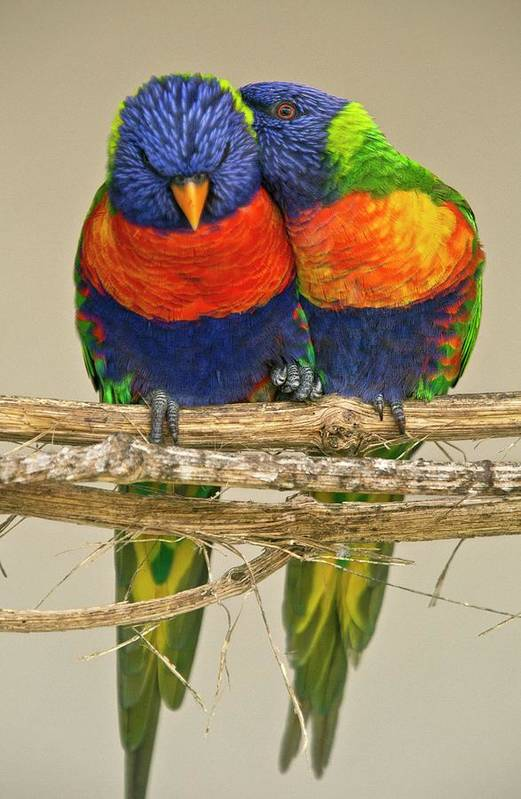 Nobody Art Print featuring the photograph Rainbow Lorikeets by Bob Gibbons