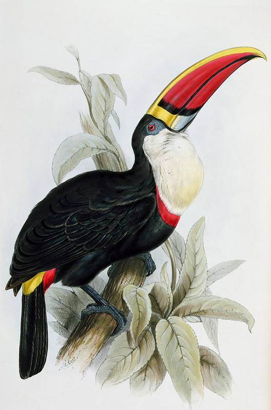 Red Billed Art Print featuring the painting Red-billed Toucan by Edward Lear