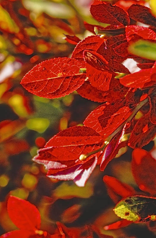 Plants And Flowers Art Print featuring the photograph Red Leaves by Patrick Kessler