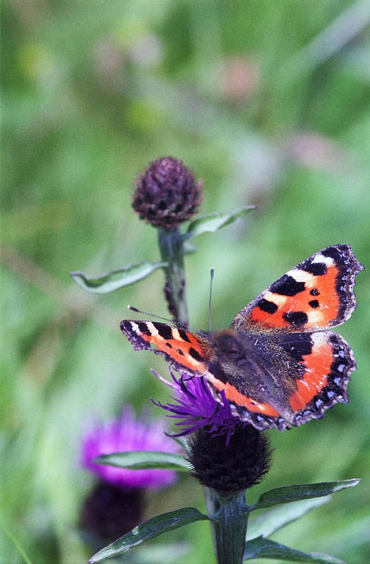 Nymphalidae Art Print featuring the photograph Small Tortoiseshell by Patrick Kessler