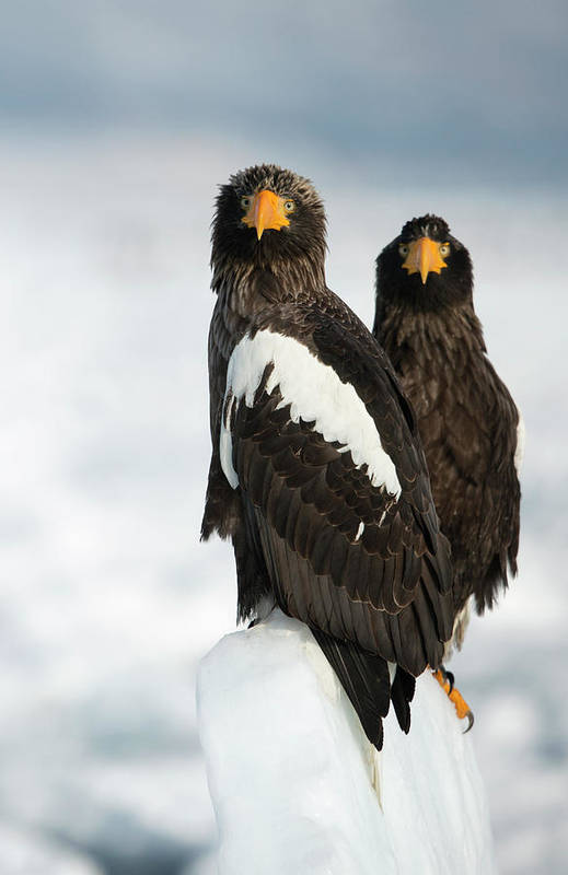 Accipitridae Art Print featuring the photograph Steller's Sea Eagles by Dr P. Marazzi