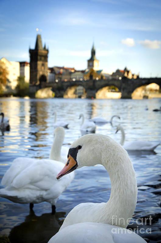 Prague Art Print featuring the pyrography Swans On Vltava River by Jelena Jovanovic