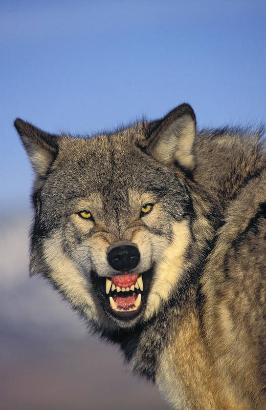 Aggressions Print featuring the photograph T.kitchin Wolf Snarling by First Light