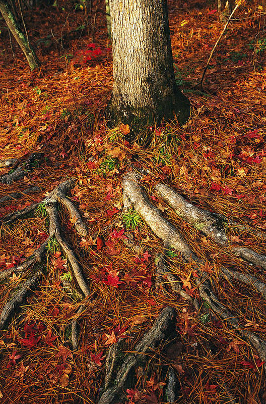North America Art Print featuring the photograph Oak Tree Roots And Pine Needles by Raymond Gehman
