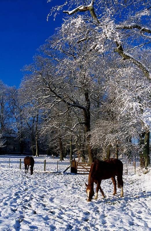 Agriculture Art Print featuring the photograph Thoroughbred Horses, Mares In Snow by The Irish Image Collection