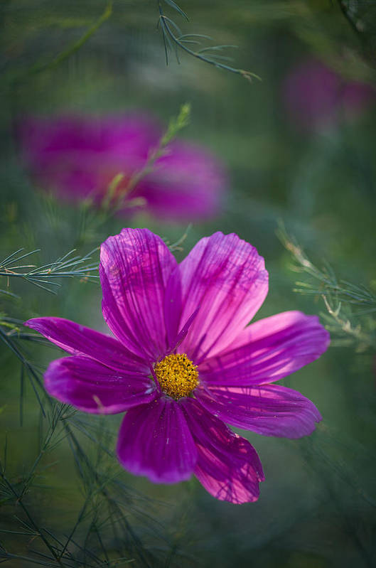 Flower Art Print featuring the photograph Backlit Cosmos by Mike Reid