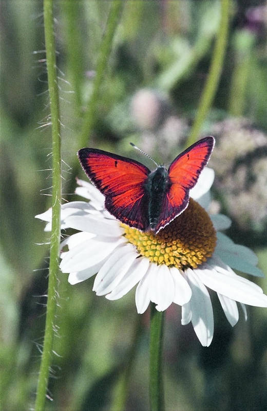 Lycaenidae Art Print featuring the photograph Daisy And Butterfly by Patrick Kessler