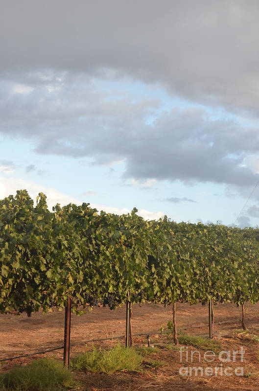 Cluster Art Print featuring the photograph Early Morning Vineyard by Timothy OLeary